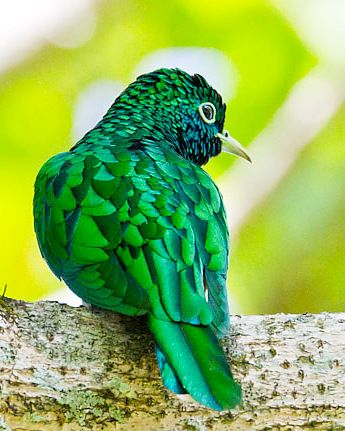 This is the Klaas Cuckoo! Who knew??? I had no idea there was a bird with our name!