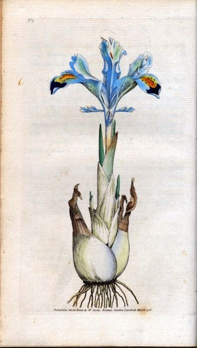 Iris persica (1753) Carl Linnaeus, botanist and zoologist.