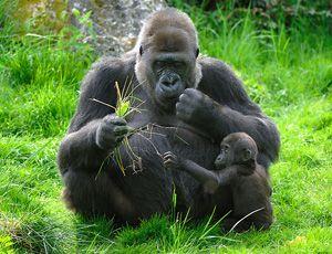 Wallpaper Baby Animals - baby gorilla thumbnail