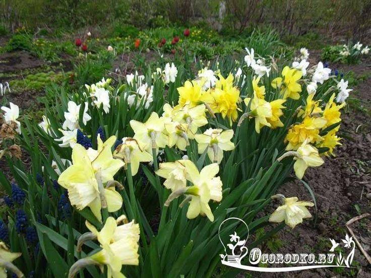 ВРЕМЯ УХОДА ЗА НАРЦИССАМИ    Нарциссы – это знакомые всем луковичные растения…
