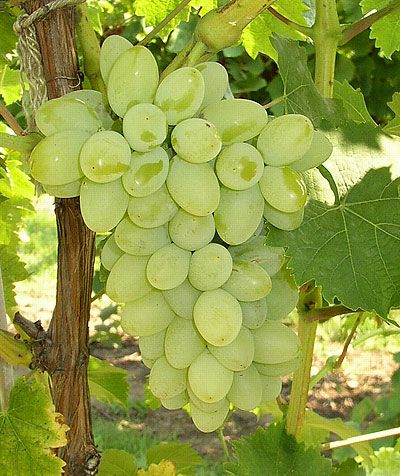 Google Image Result for http://gardening.resourcesforattorneys.com/images/backyard-grapes.jpg