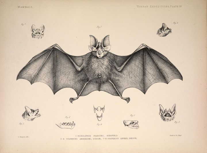 103 Best Chiroptera Images On Pinterest Bats Vampire Bat And Nature