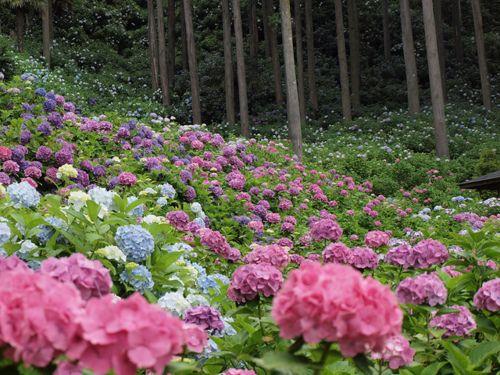 | ♕ |  Valley of wild hydrangeas in Japan
