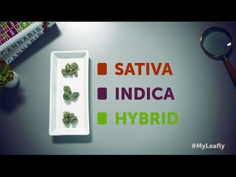 Leafly Cannabis 101: What's the difference between Indica, Sativa & Hybrid? - YouTube