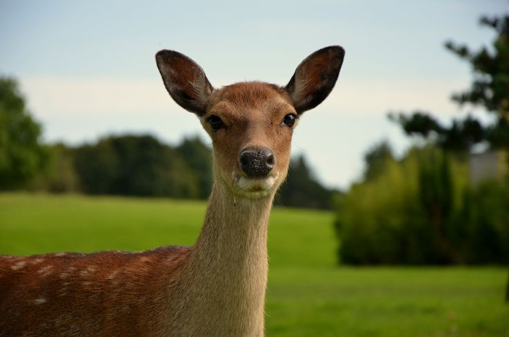 The island is home to a wonderful herd of deer...they have plenty of green space and woodland to enjoy. Take a picnic out into the grounds and see for yourself...