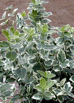 euonymus-fortunei-emerald-gaiety-paysagiste