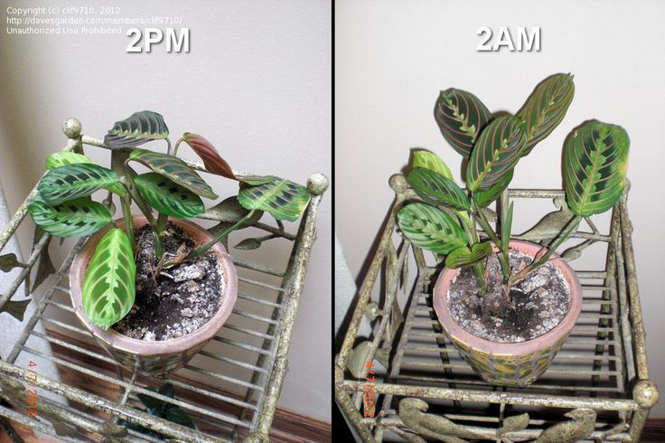 The prayer plant in action full size picture of prayer for Prayer palm plant