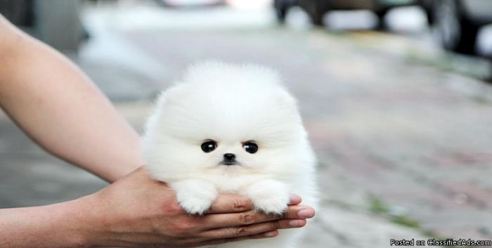 how to take care of a teacup pomeranian puppy