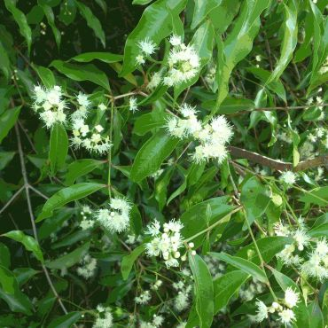 Aniseed Myrtle Tree | When crushed the leaf of the aniseed myrtle has a distinct licorice scent and is growing in use as a spice in the food industry.