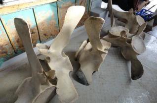 Algunas de las piezas vertebrales del rorcual a la llegada del Cap Prim Segon al puerto.