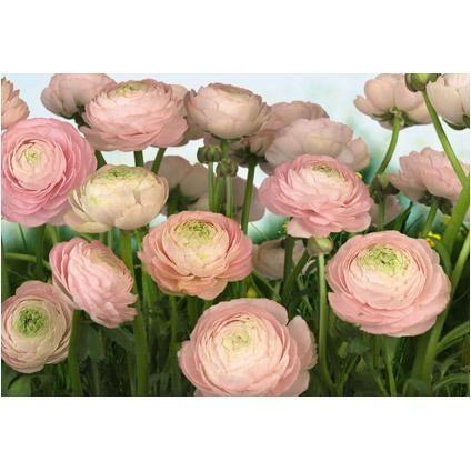 Fotobehang Gentle rose