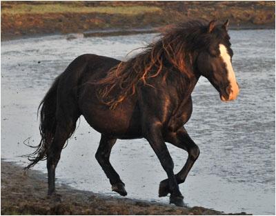 A Black Star'd Horse