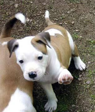 American Pit Bull Terrier puppy -- high five!