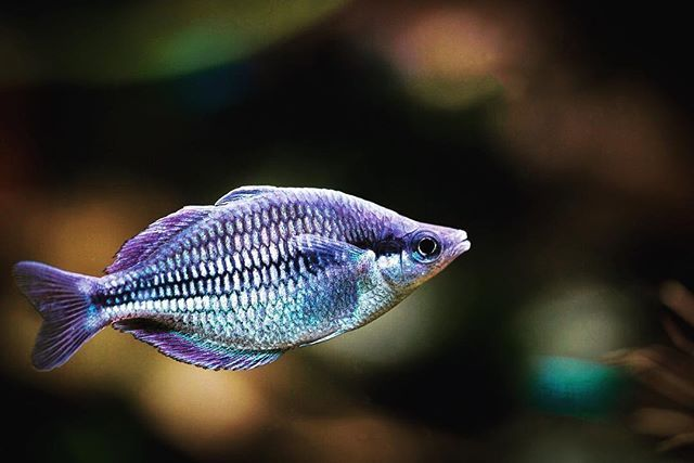 One Of My Favorite Rainbowfish Males And Females Equally