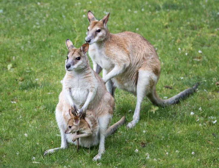 Kängurus im Magdeburger Zoo mit Nachwuchs im Beutel