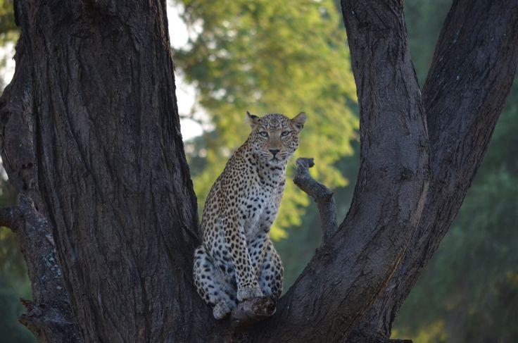 Leopard up a tree, Lower Zambezi.