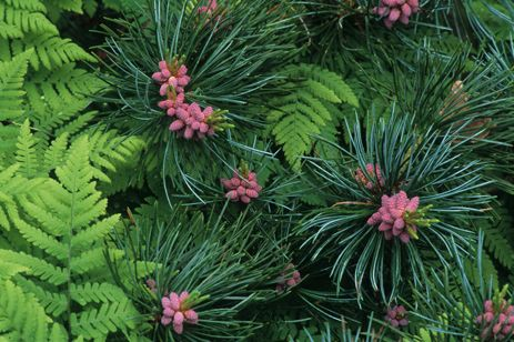 Pinus parviflora (good in a container)