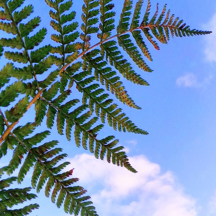 A close-up of some bright green bracken against a bright blue sky at Tilgate Park.. #bracken #ferns #green #clouds #landscape #sky #nature #tilgatepark #crawley #sussex