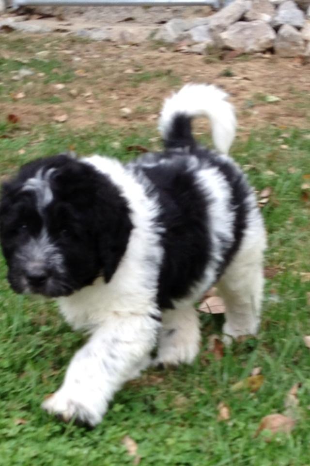 Newfkom puppy. A Newfoundland and Komondor hybrid at