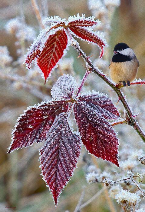 Autumn Chickadee Bird on a Frosted Limb.