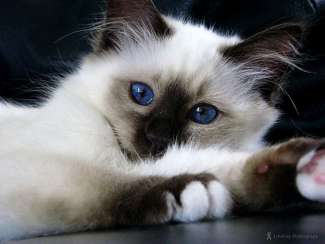 Birman kitten - gorgeous eye color