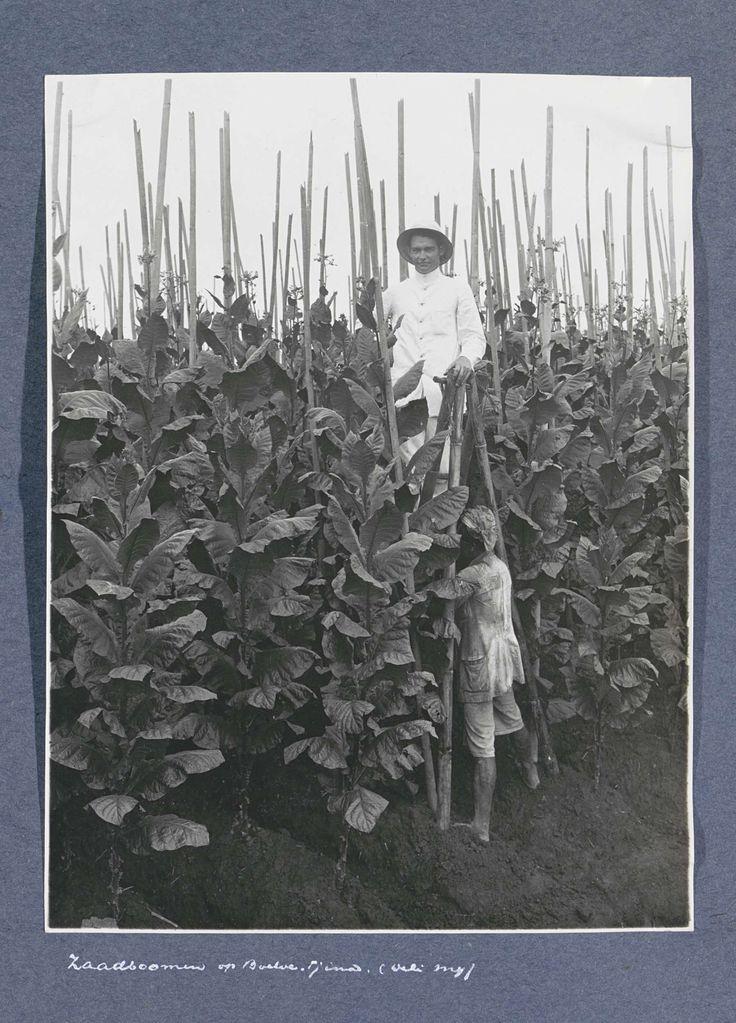 Planter en Indische man tussen zaadbomen van tabaksplantage Boeloe Tjina op Sumatra, Anonymous, c. 1900 - c. 1920