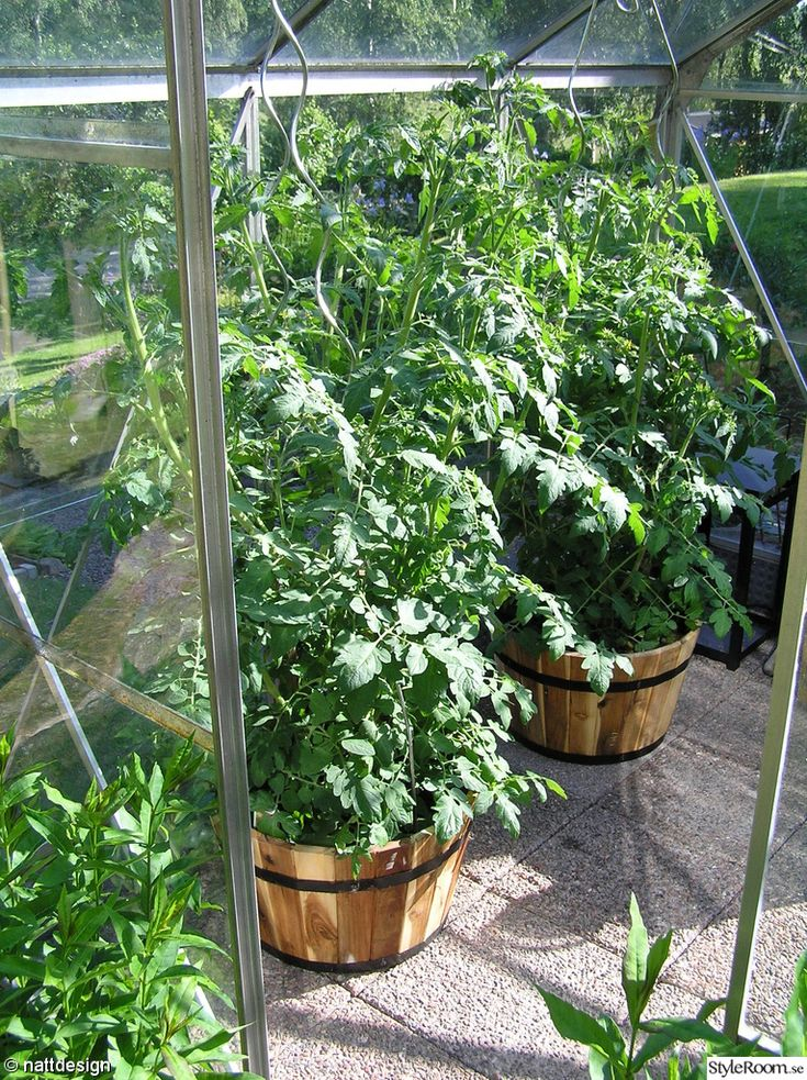 tomatplantor,växthus