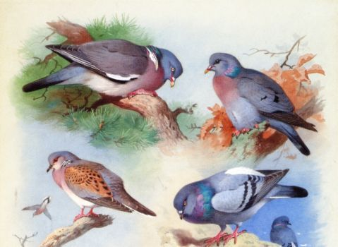 Archibald Thorburn--A Wood Pigeon, a Stock Dove, a Turtle Dove and a Rock Pigeon, 1915 (88 pieces)