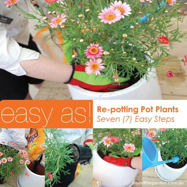 Step by step guide on how to re pot flowers and pot plants. Autumn is a great time to repot plants after the harsh Summer heat and before Winter frosts #grow #diy #flower #pot #repot #garden #aboutthegarden #easter