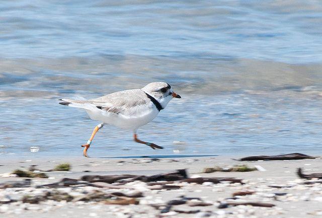Piping plover, Wasaga Beach Provincial Park