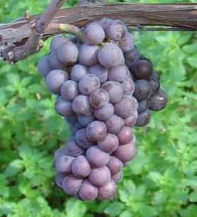 Sample some of the finest Pinot Grigio (did you know Piinot Grigio could be so elegant?)