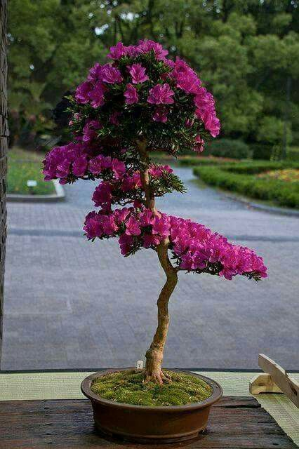 Les 25 meilleures id es de la cat gorie bonsa - Bonsai arbre prix ...