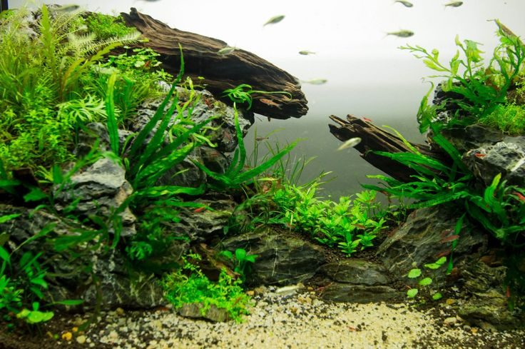 Fuck Yeah Aquascaping - low tech tank, The Gap, 112l; about one and half months after setup.