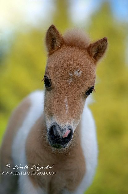 Equine Photographer - Teddy is a Miniature Horse only 3 weeks old. - by Annette Augestad /Hestefotogra