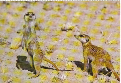 Postcard sent to the USA. The meerkat or suricate, Suricata suricatta, is a small mammal belonging to the mongoose family.