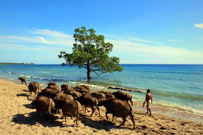 Water Buffalo herd on Com Beach - Timor-Leste