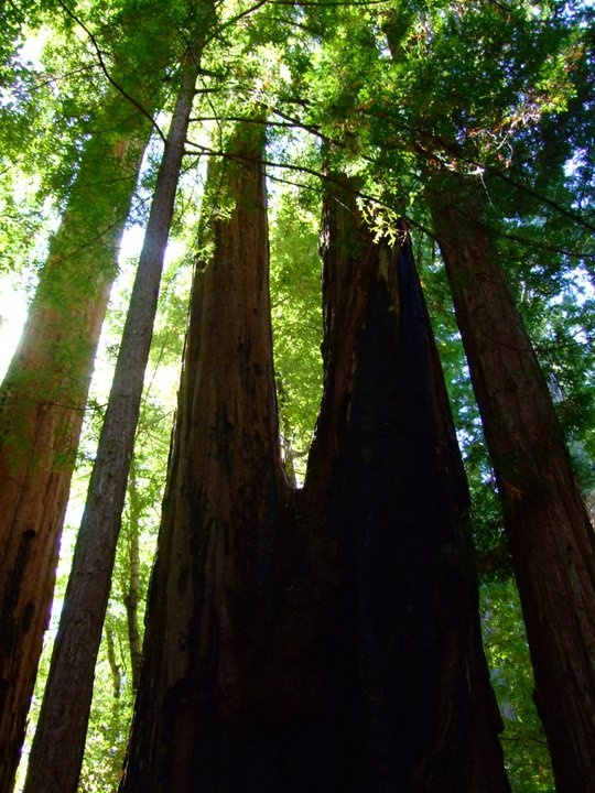 Big Basin Redwood State Park, CA - gorgeous redwoods in Santa Cruz Mountains only 1 hour drive from San Jose