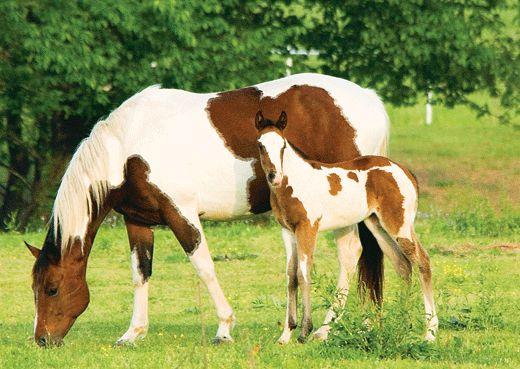 Love Paint horses