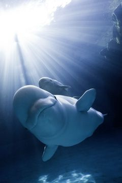 188 Best Images About Beluga Whale On Pinterest False
