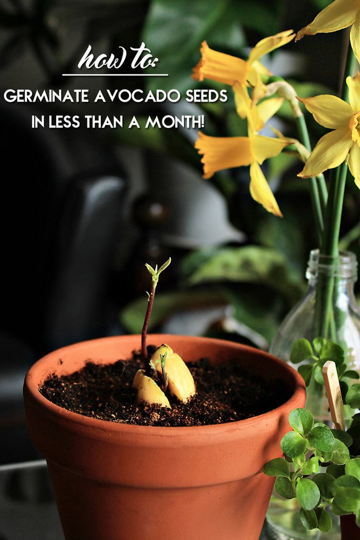How to germinate an avocado seed in less than a month! All the tricks and tips | from IN WHIRL OF INSPIRATION