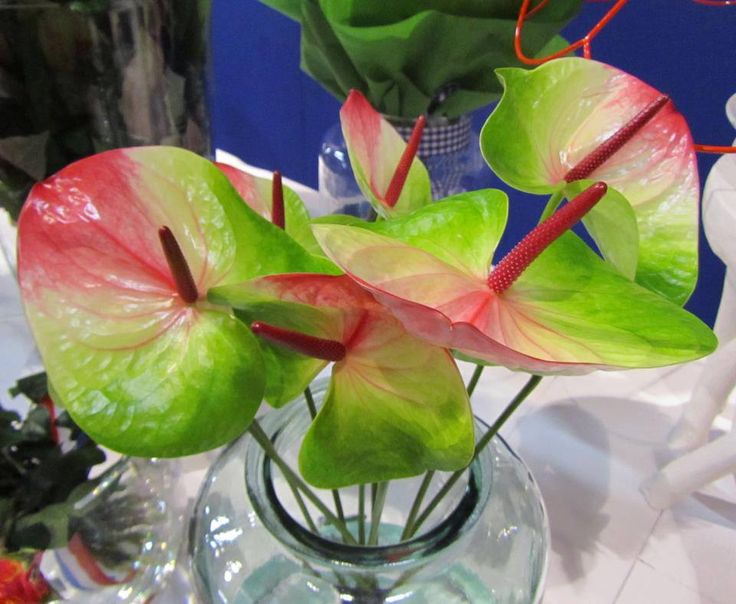 Lovely Anthurium