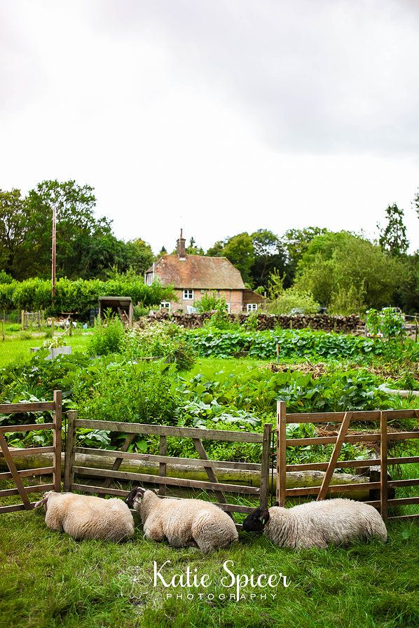 Kitchen garden with sheep