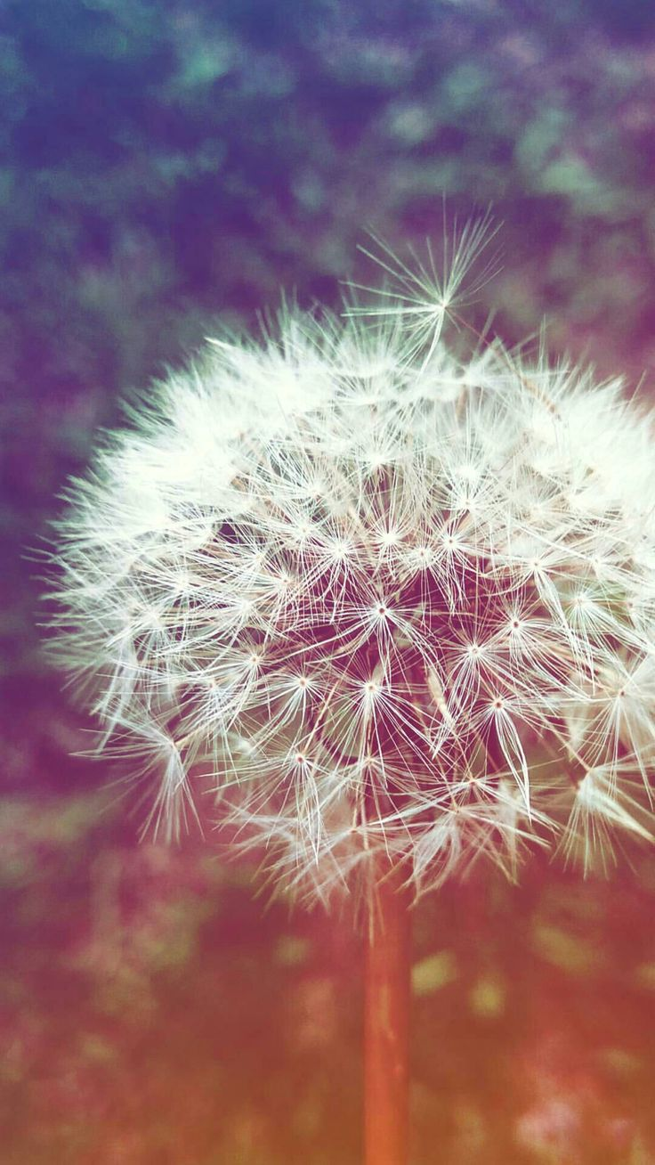 #dandelion #autumn #fall