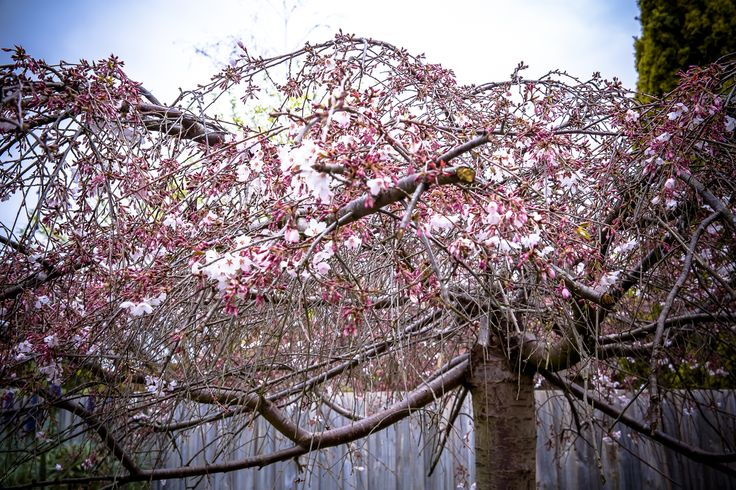 We were afraid our cherry tree got nuked by the summer heatwave last summer...but it is blossoming nicely this spring...YAY !!