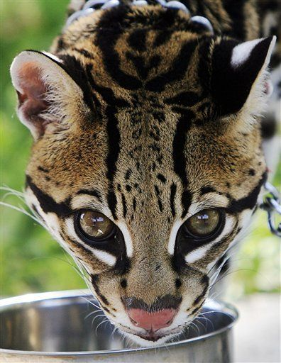 Sihil, an ocelot from the Cincinnati Zoo, stares Thursday April 19, 2012 at Santa Ana National Refuge in San Juan, Texas. People had the opportunity to view a live ocelot in its natural habitat before