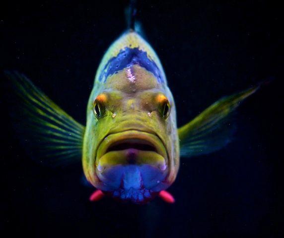 Oscar fish by Chi Liu, via Flickr - mange forskellige slags på siden!