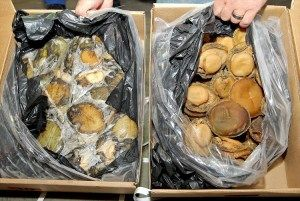 A sting operation at the port of Durban by SARS customs officials and the Hawks has led to the seizure of 1.6 tons of illegally harvested frozen abalone valued at R2.37-million.  SARS spokesman Sandile Memela said the Durban sting operation was initiated after the Hawks had seized illegally harvested abalone from a container in Port Elizabeth earlier this month.  Based on the intelligence from the Port Elizabeth bust a ship travelling to Sri Lanka was ordered to return to South Africa and…