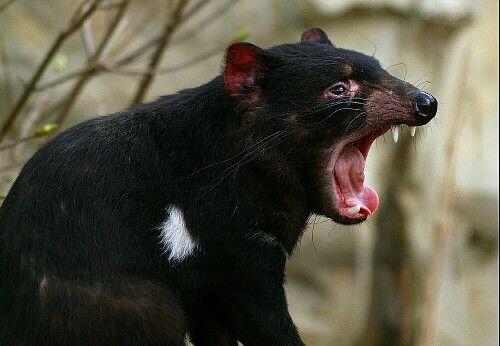 Tasmaanse duivel, Tasmanië.