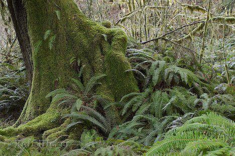 Foto von alten Bäumen im Hoh Rainforest, mit Moos und Farn, im Olympic Nationalpark in Washington in den USA.