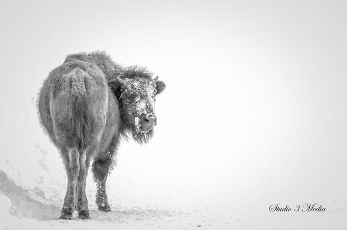 """Photo """"Buffalo_NSC2148"""" by michelbissonnette"""